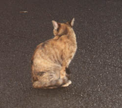 Tortoiseshell cat at Akaka Falls