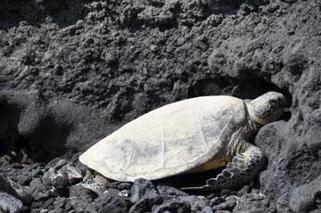 A_Bay_turtle_01