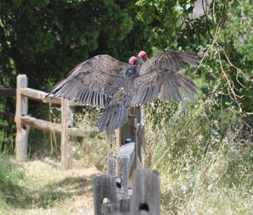 Turkey Vulture 02