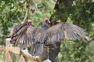 Turkey Vulture 07