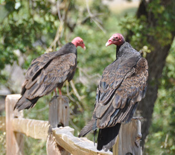 Turkey Vulture 08