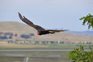 Turkey Vulture 12