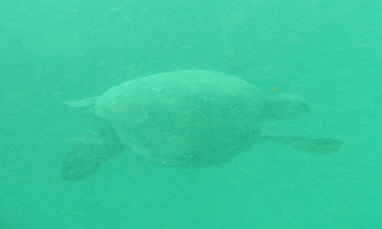 Green sea turtle on Na Pali Coast