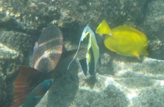 Fish at Kahalu'u Beach Park