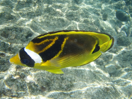Raccoon Butterflyfish at Kahalu'u Beach Park