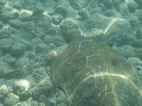 Green Sea Turtle at Kahalu'u Beach Park