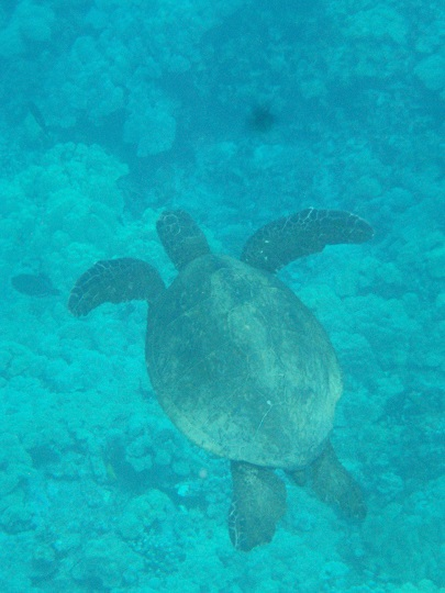 Green Sea Turtle at Honaunau Bay