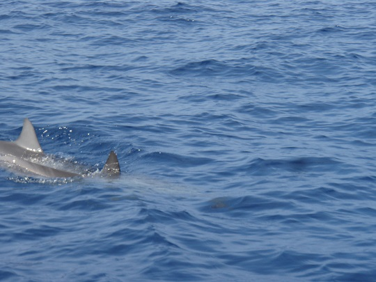 Spinner dolphin off Kona Coast