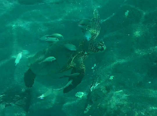 Green Sea Turtle off Kona Coast