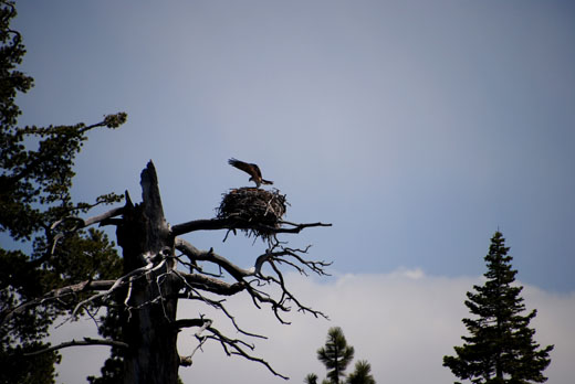 Osprey nest at Emerald Bay