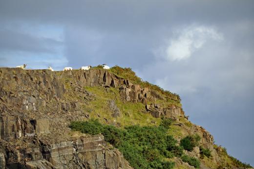sheep along the coast