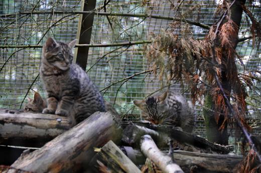 Scottish Wildcat kittens at Highland Wildlife Park