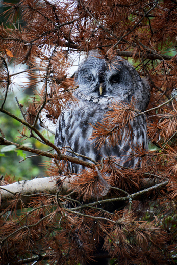 Great Grey Owl at Highland Wildlife Park