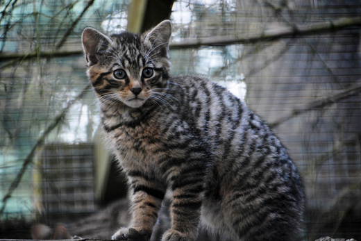 Scottish Wildcat kitten at Highland Wildlife Park