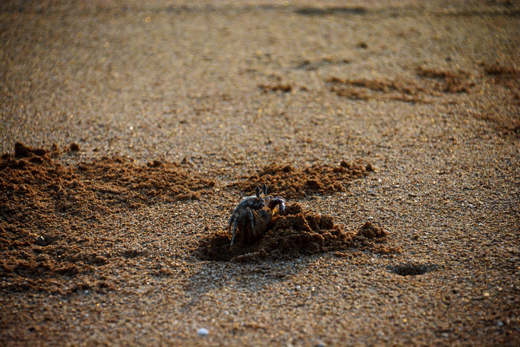 crab coming out of sand