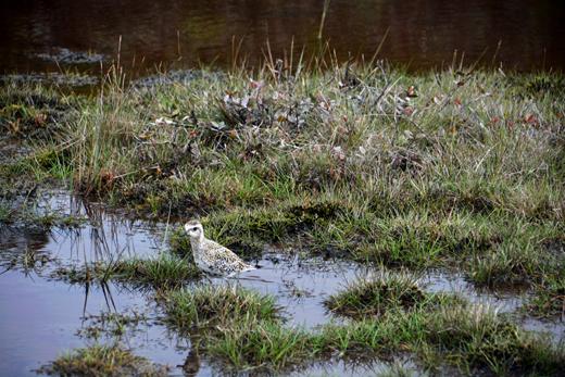 Pacific Golden Plover in Alakai Swamp