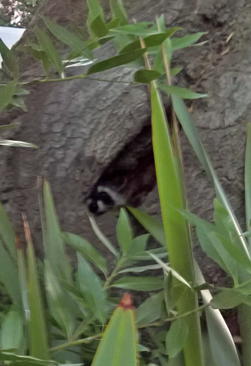 mama raccoon in tree
