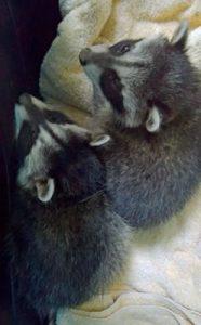 raccoonsweb